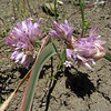 June 21, 2012 - Wild onion along the Greensprings Loop Trail, BLM, Oregon.