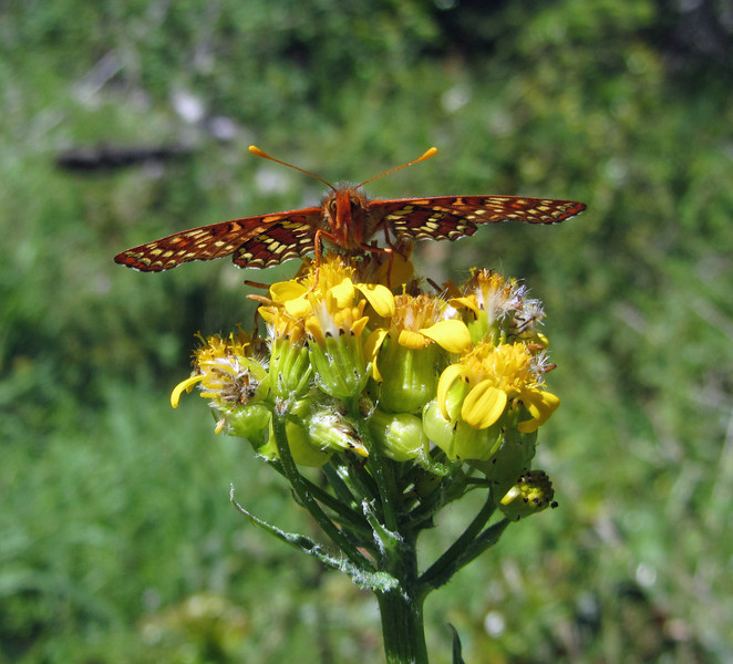 June 21, 2012 - Snowberry checkerspot butterfly (variable checkerspot) along the Greensprings Loop Trail, BLM, Oregon.