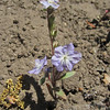 June 21, 2012 - Flower along the Greensprings Loop Trail, BLM, Oregon