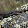 June 21, 2012 - Western fence lizard along the Greensprings Loop Trail, BLM, Oregon.