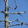 May 7, 2012.  Double-crested cormorant breeding tree at Hyatt Lake bordering Cascade-Siskiyou NM, Oregon.