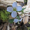 May 7, 2012.  Small white flower along the Pacific Crest Trail outside Cascade-Siskiyou NM, Oregon.