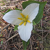 May 7, 2012.  Trillium along the Pacific Crest Trail outside Cascade-Siskiyou NM, Oregon.