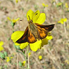 August 18, 2011 - woodland skipper