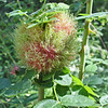 August 18, 2011 - gall on wild rose