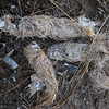 August 18, 2011 - coyote scat with fur, bone, hoof and millipede