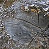 May 24, 2009.  Fungus on an old log at Pinnacles National Monument, California