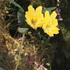 May 24, 2009.  Sticky Monkeyflower at Pinnacles National Monument, California