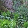May 24, 2009.  Ferns at Pinnacles National Monument, California
