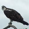 May 25, 2012 - Osprey at Iron Gate Res. along the Klamath River, CA.