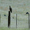 May 25, 2012 - Immature bald eagle being mobbed by brewers black birds at Iron Gate Res. along the Klamath River, CA.