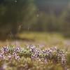 Lavender Magic - Tuolumne Meadows