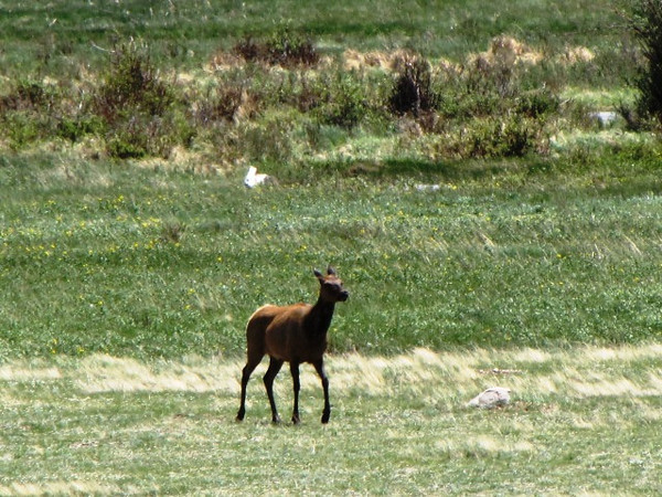 Lady Elk at Sheep Lakes