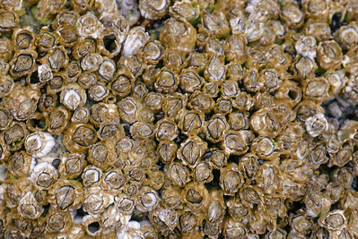these are very short barnacles growing on the rocks. They keep you from slipping on the rocks, but are very sharp.