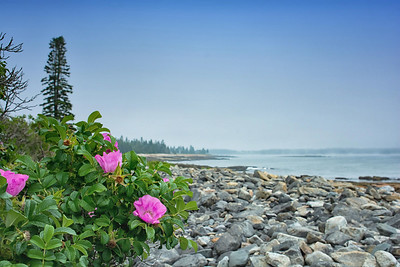 Shrub Roses on the Rocks