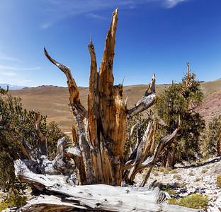 The Wailing Pine
