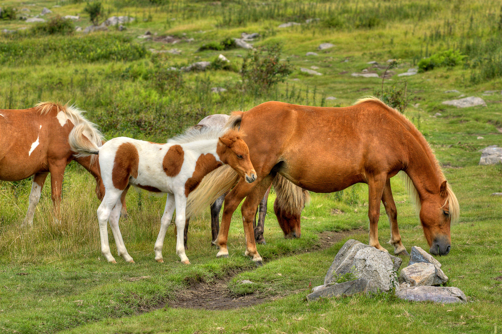 Wild ponies graze on Wilburn Ridge at Mile 493.1 on the Appalachian Trail in VA on Thursday, August 2, 2012. Copyright 2012 Jason Barnette