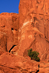 Small cedar tree in rock, Arches NP