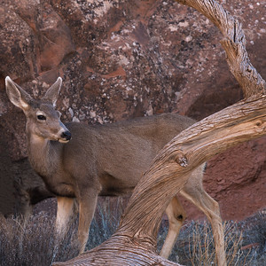 Arches Deer