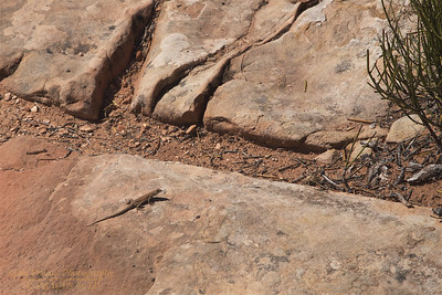 ANP-UT-170928-0013 A Local Resident of the Arches National Park