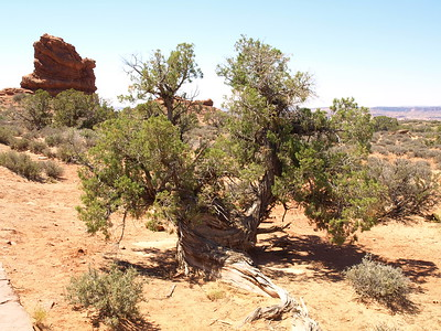 Juniper in the Desert