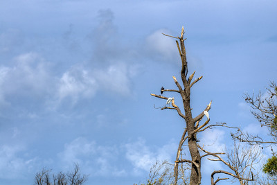 Birds sit in a tree at Chincoteague National Wildlife Refuge in Chincoteague Island, VA on Tuesday, August 18, 2015. Copyright 2015 Jason Barnette