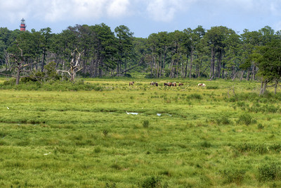A small herd of wild ponies roam a large field at Chincoteague National Wildlife Refuge in Chincoteague Island, VA on Tuesday, August 18, 2015. Copyright 2015 Jason Barnette