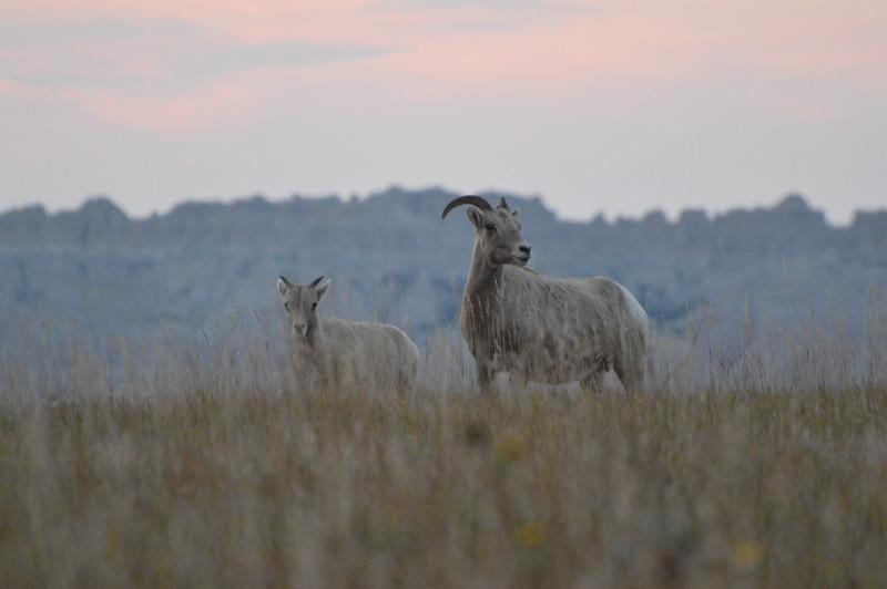 Sheep on the Ridge