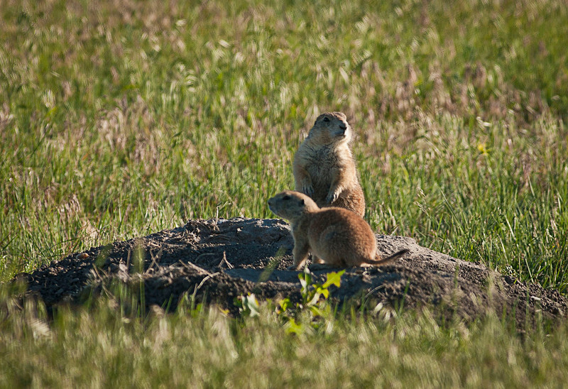 These prairie dogs are everywhere and appeard to come out and pose for us.