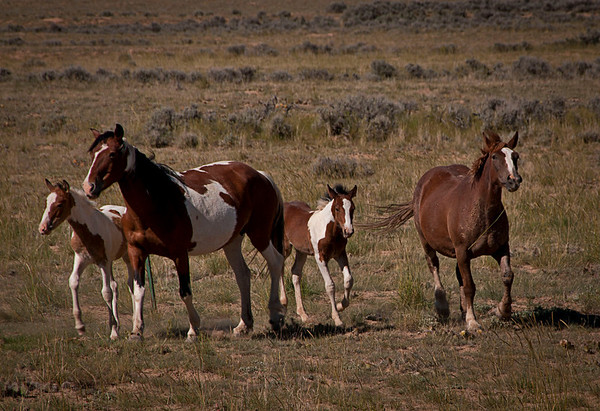 Wild mustang herd on Bureau of Land Management (BLM) Land outside Cody, WY.  We visited this heard back in 2006.  We were lucky they were grazing close to the road.  BLM only keeps approximately 500 mustangs in this area of approximately 150,000 acres.  It looks plush now but normally there is very little grazing here.  According to locals these horses are easy to adopt out because they are part mustang and part quarter horse.  Buffalo Bill Cody would graze his wild-west show quarter horses on this land during the winter.  Naturally they breed with the mustangs.