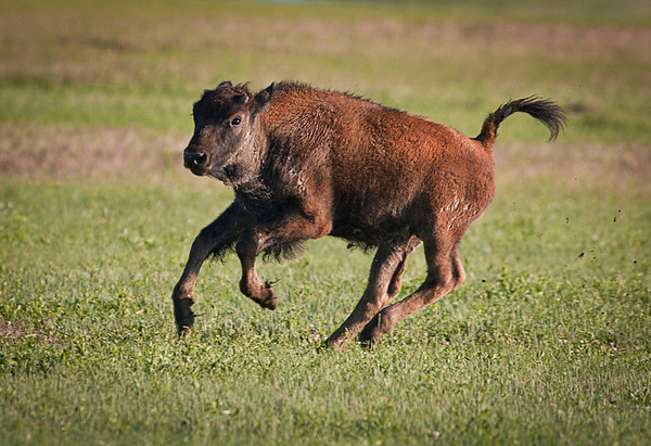 This was the year for calves.  Here is one running and playing.