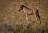 Mustang foal.  Not sure where this young foals mother was; although there was another group of mustangs about 300 yards north of this group.