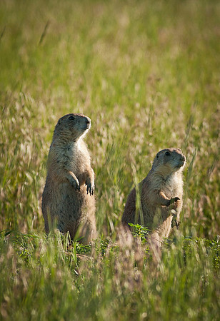 Prairie Dogs checking us out.