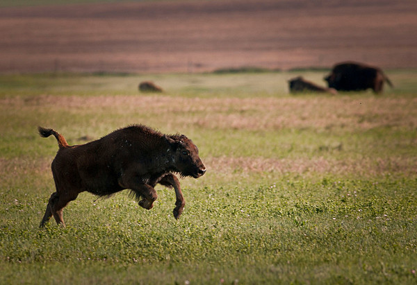 Buffalo calf in motion.