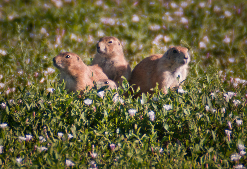 This family of prairie dogs watch the buffalo/human stand-off with interest.