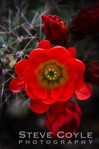 Cactus Bloom