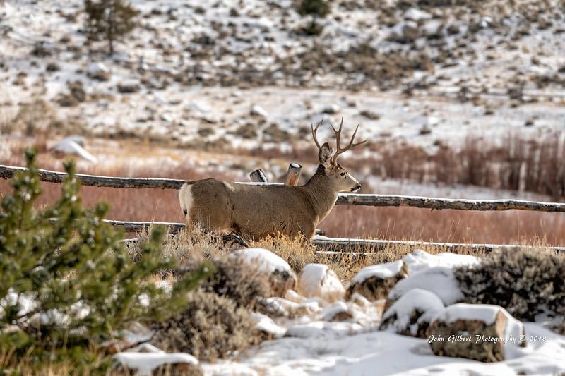 Mule Deer #2