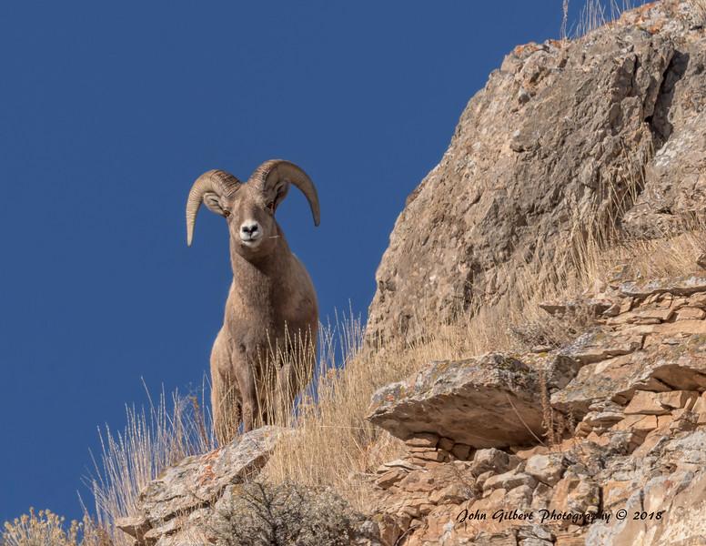 Ram #10