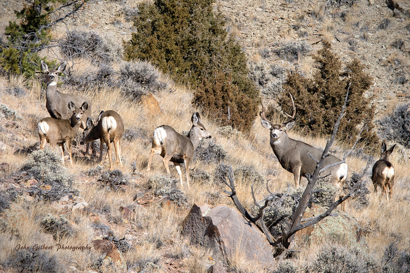 Mule Deer #4