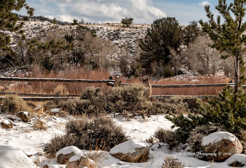 Mule Deer #1