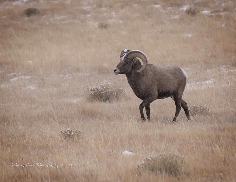 Ram #7