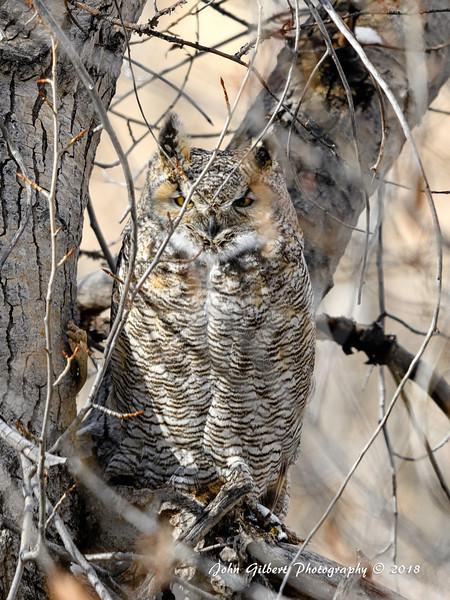 Big Horn Owl