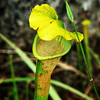 Pitcher Plant with a resident spider
