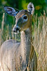 White-tailed deer on Skyline Drive in Blue Ridge Mountains - -0149 - 72 dpi