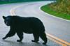 Black bear on Skyline Drive in Blue Ridge Mountains, near Pinnacles - -0075 - 72 dpi