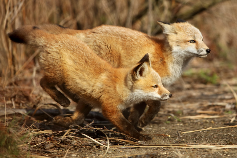 Leaping Red Fox Kits – Anticipation Gets the Shot