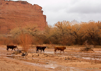 Canyon de Chelly cows
