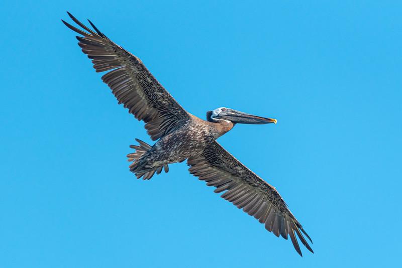Ocracoke Island's Black Pelican