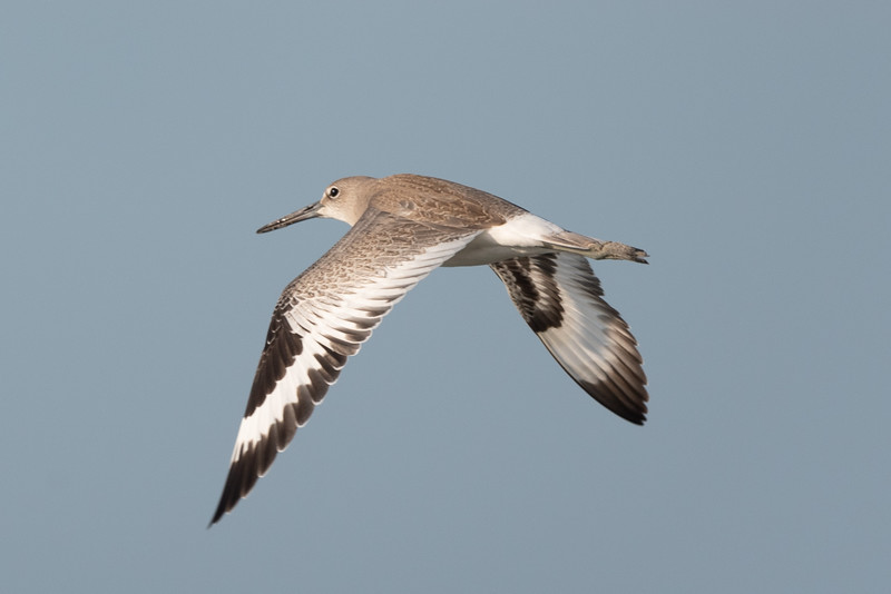 The Wings of the Willet