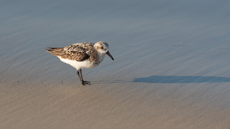 The Sanderling & His Shadow